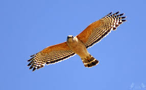 red-shouldered-hawk-in-flight