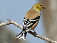 goldfinch-american-02-25-j